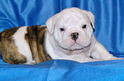 adorable english bull dog for  sale