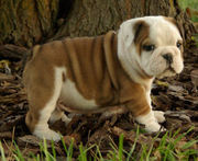 ----Top Quality English Bulldog Puppies For Sale - Champion Bloodline