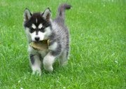 sibarian husky for  xmas to free home